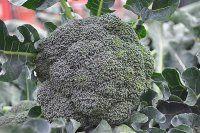 Çocuklukta tüketilen brokoli kemikleri sağlamlaştırıyor