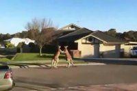 İki kangurunun kavgası böyle görüntülendi -İZLE
