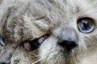 İki yüzlü kedi hayatını kaybetti