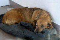 Ölen sahibinin gelmesini bekleyen köpek herkesi duygulandırdı