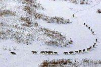 Vatandaşı tedirgin eden kurt sürüsü