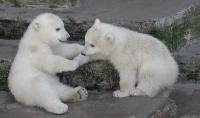 Minik ayılar ilgi odağı oldu