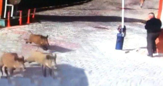 Sarıyer'de lüks siteyi domuz sürüsü bastı