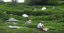 Yaş çay destekleme pirimi ödenmeye başladı