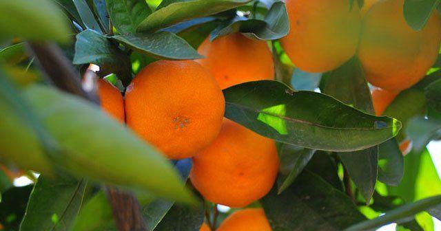 Türkiye'nin yeni turunçgil ihracatı hedefi mandalina