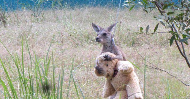 Yalnız kanguru oyuncak ayısından ayrılmıyor