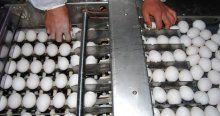 Yumurta üretiminde rekor bekleniyor