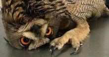 Yaralı kulaklı baykuş sağlığına kavuştu