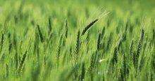 'Türkiye'de GDO'lu buğday yok'