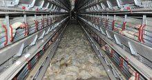 Fanlar çalışmayınca 40 bin tavuk telef oldu