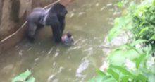 Öldürülen gorilin çocuğu korumaya çalıştığı ortaya çıktı