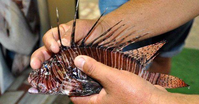 Gazipaşa'da zehirli aslan balığı yakalandı