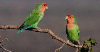 'Gördüğünüz papağanları ihbar edin!'