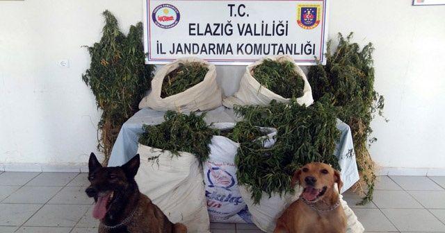 Elazığ'a bin 226 kök hint keneviri ile 13 kilo esrar ele geçirildi