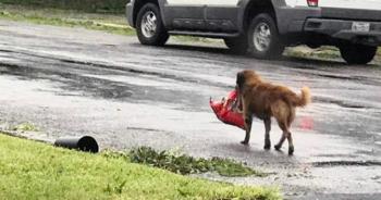 Mama taşıyan köpek ABD'de gündem oldu