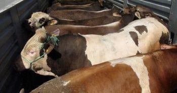 Sorgun'da kurbanlık hayvan sevkiyatlarına sıkı denetim