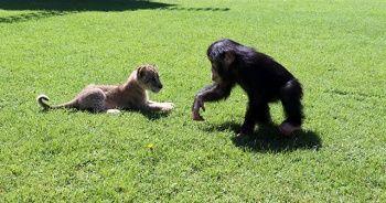 Şempanze Can'a 'aslan' gibi arkadaş
