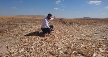 3 tarlasında ekili yaklaşık 120 ton mısır çalındı