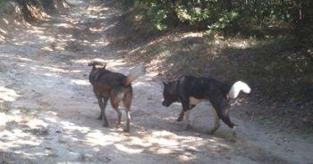 Silivri'de atları yiyen kurt değil köpekmiş