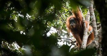 Endonezya'da yeni maymun türü keşfedildi