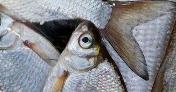 Balığın kuyruğunu ve kafasını sakın atmayın
