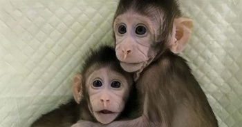 Dünyanın ilk klon maymunlarına gözleri gibi bakıyorlar