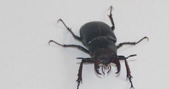 Bu böceğe Japonlar 150 bin dolar veriyor!