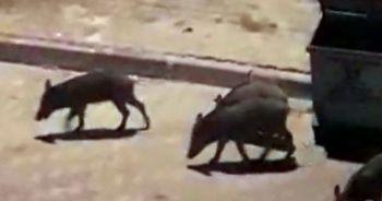 Aç kalan domuzlar ilçe merkezine indi