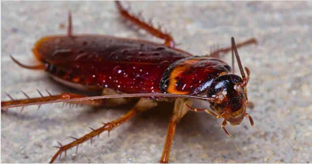 Hamamböceği veya böceklerle savaş için en etkili ilaç