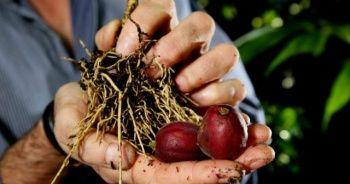 'Blushwood' meyvesi kanserin kökünü kazıyor!