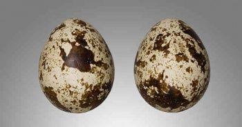 Bıldırcın Yumurtasının Faydaları Nelerdir, Nasıl Pişirilir Yenir Tüketilir