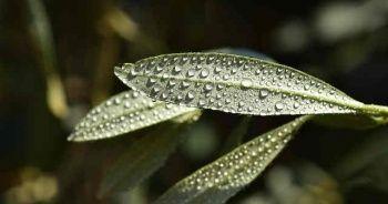 Zeytin Yaprağının Faydaları Zararları Zeytin Yaprağı Çayı Nasıl Hazırlanır