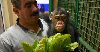 Annesinin kabul etmediği şempanze Can'a