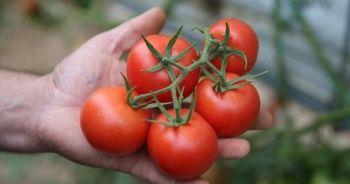 Bakan Pakdemirli açıkladı! Artık Rusya'ya 100 bin ton domates satacağız