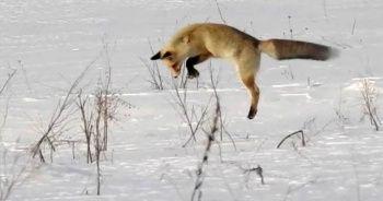 Kızıl Tilkinin usta avcılığı