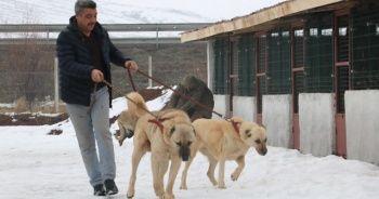 Sivas kangalı, İspanya'da Türkiye'yi temsil edecek