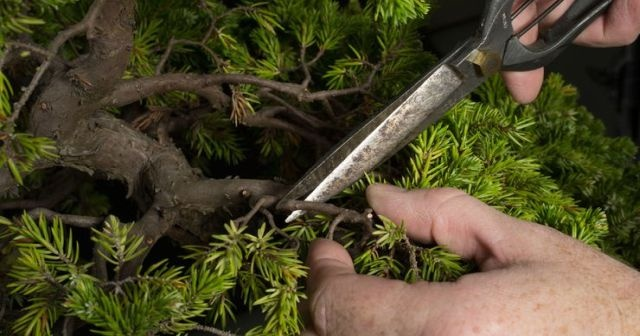 400 yıllık bonsai ağaçları çalınan Japon çiftten hırsızlara mesaj