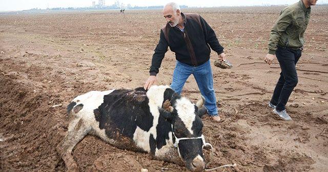 Çaldıkları inekleri götüremeyince bıçakladılar
