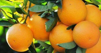 Fırsatçı oyunu: Tarladan 45 kuruşa çıkan portakal markette 5 lira