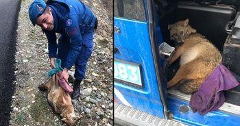 Jandarma ekiplerinden yaralı tilkiye şefkat eli
