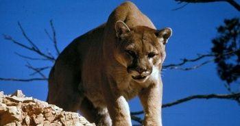 Kendisine saldıran aslanı boğarak öldürdü