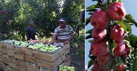 Cumhurbaşkanı Erdoğan müjdeyi vermişti! Elma tanziminde anlaşma sağlandı