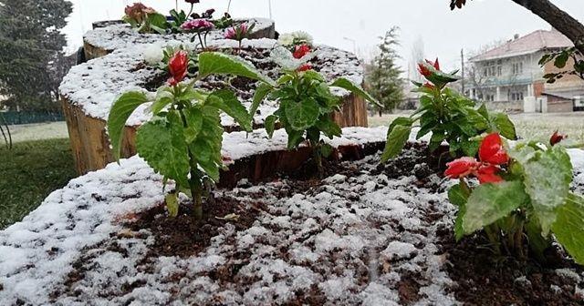 Havaların ısınmasına aldanıp açan çiçekler kar altında kaldı