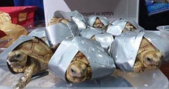 Filipinler'de bin 529 kaçak kaplumbağa ele geçirildi