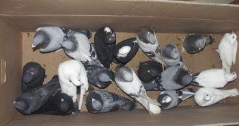 Gaziantep'te güvercin hırsızlığına tutuklama
