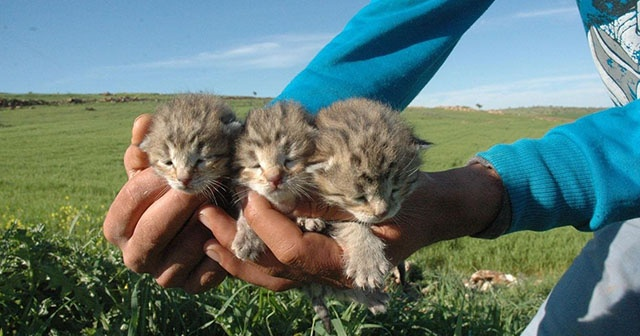 Diyarbakır'da bir yetişkin ve 3 yavru leopar görüldü