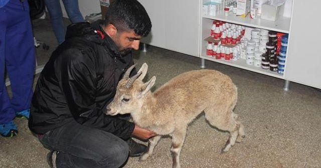 Yaralı yaban keçisi yavrusu tedavi altına alındı