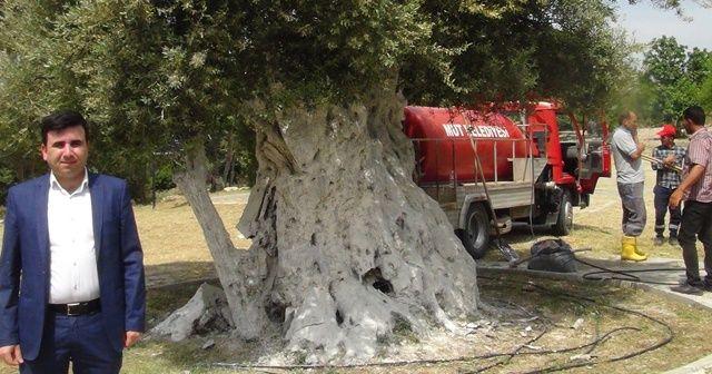 1300 yıllık anıt ağaç Cumhurbaşkanı Erdoğan'ı bekliyor