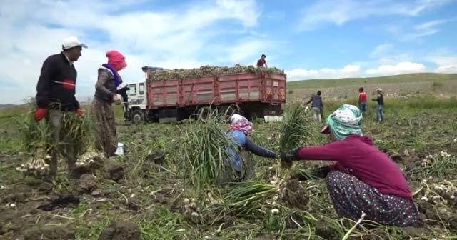 Sıcakta çalışan tarım işçilerinin ekmek mücadelesi