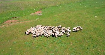 Genç Çiftçi Projesi için koyun alımı yapılacak